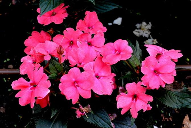 Niecierpek różowy