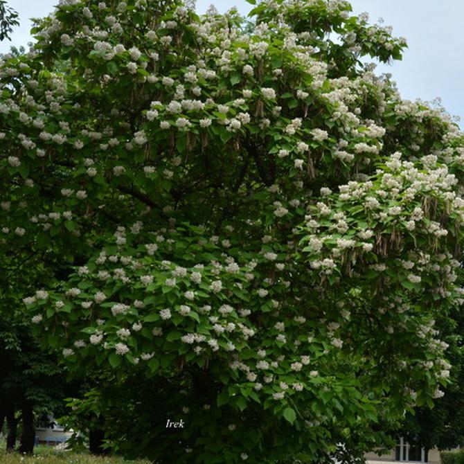 Kwitnące drzewo katalpy