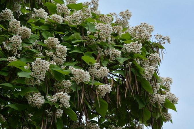 Kwitnące gałęzie katalpy