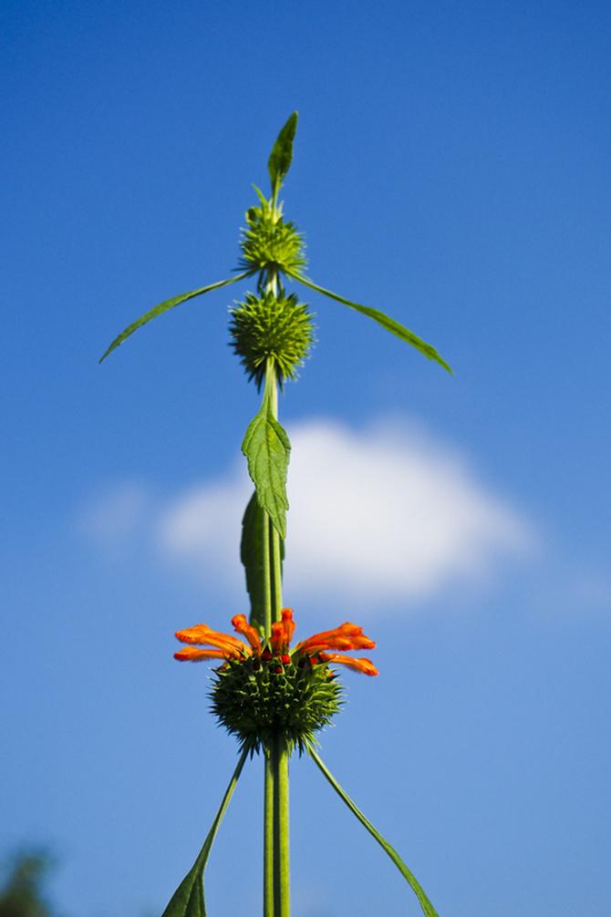 Leonotis Nepetifolia – Klip Dagga