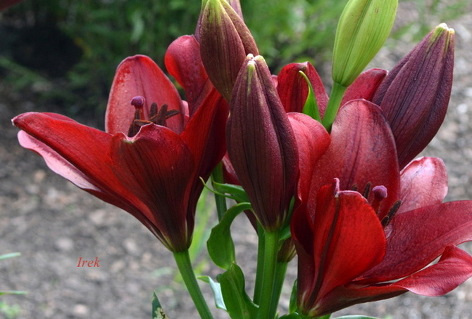 Lilia o ciemnej barwie