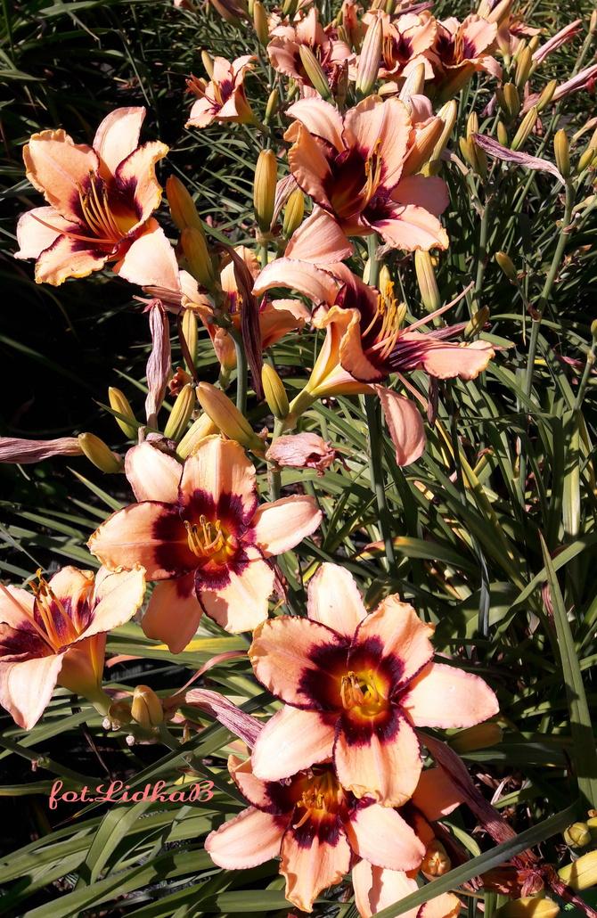 Liliowce,długo kwitnące kwiaty
