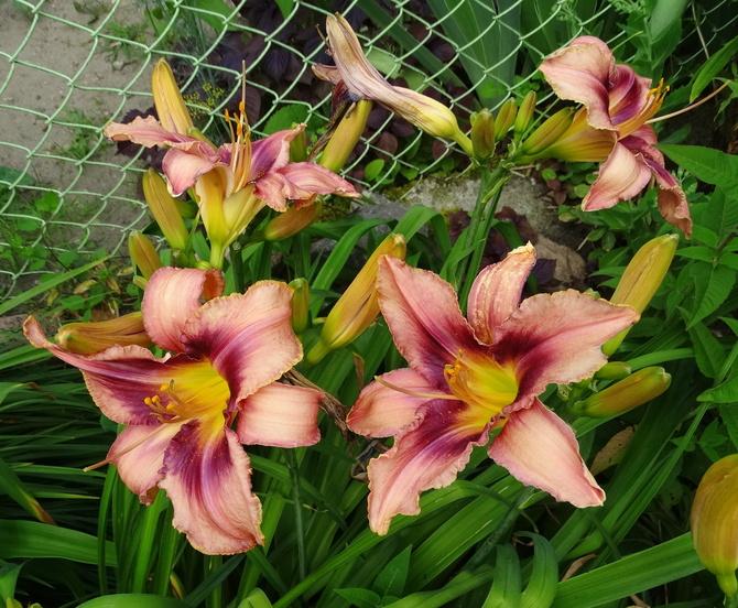 Liliowce współzawodziczą z liliami :)