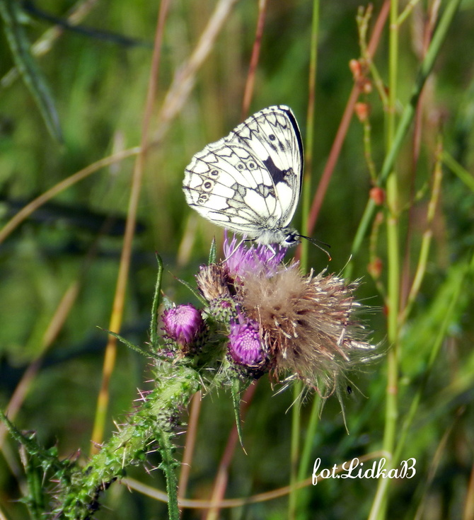Motyl.....