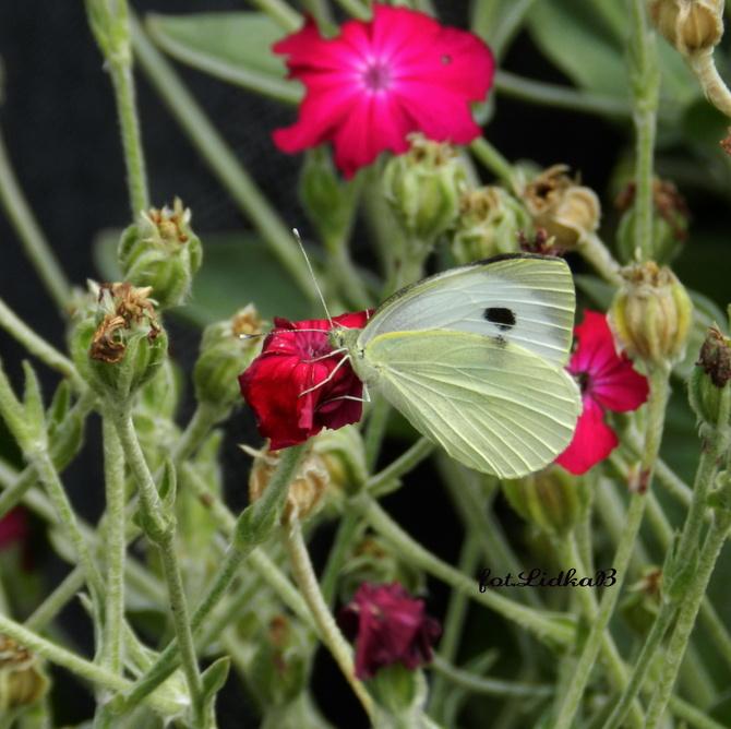 Motyl......