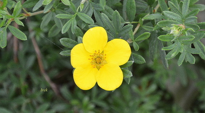 Żółty kwiat na krzewie