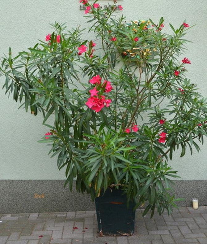 Oleander w całości.