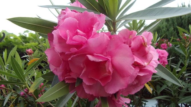 Oleander wyjątkowo wielkokwiatowy.