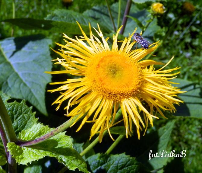 Oman , słoneczny kwiat