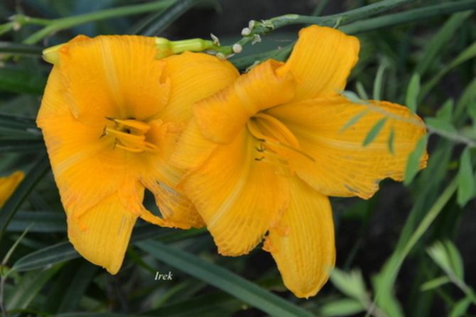 Para liliowców