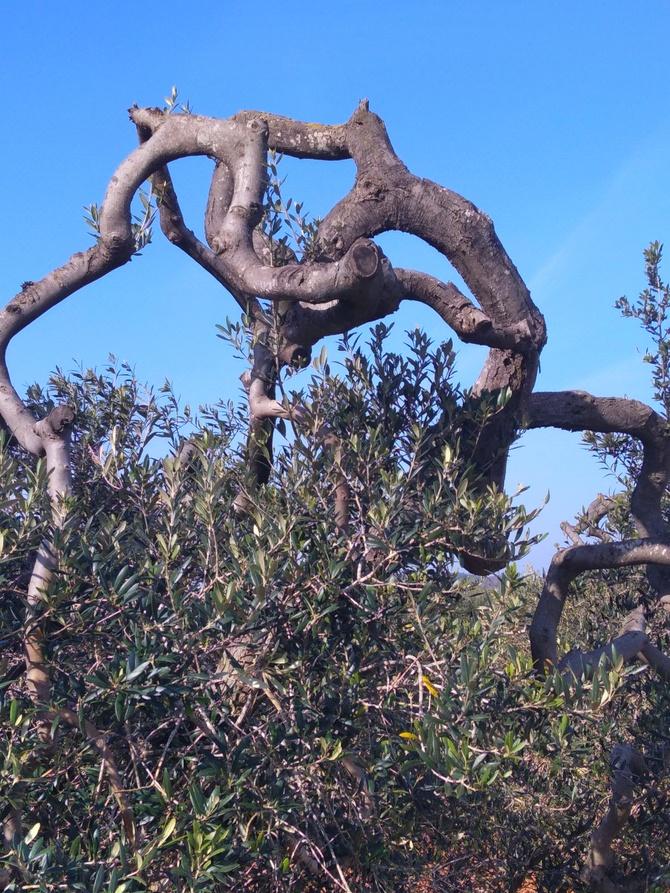 Piękno natury-drzewko oliwkowego