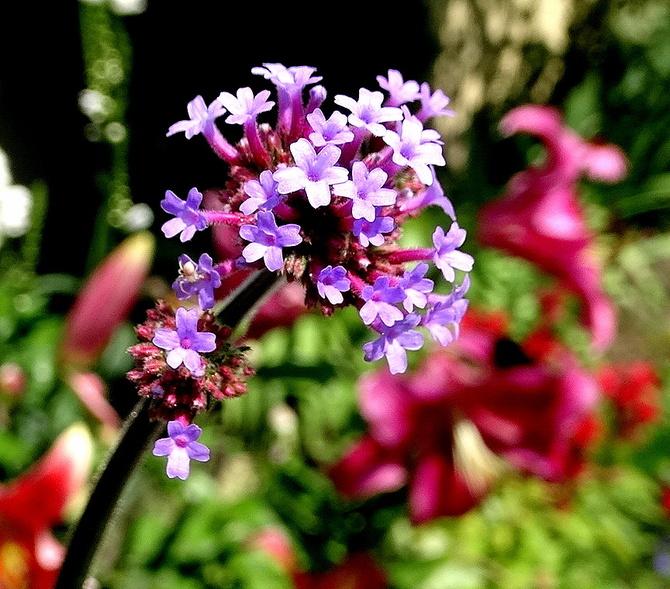 Pierwsze kwiatki patagonki