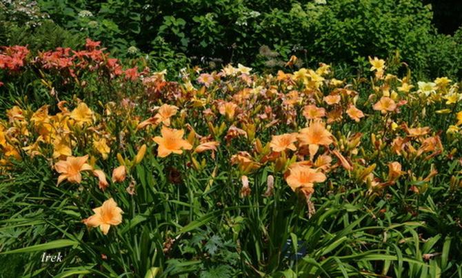 Przekwitają liliowce