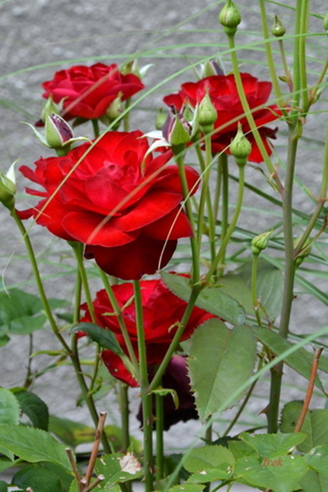 Róża czerwona omotana
