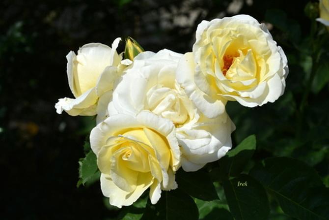 Róże białe i żółte