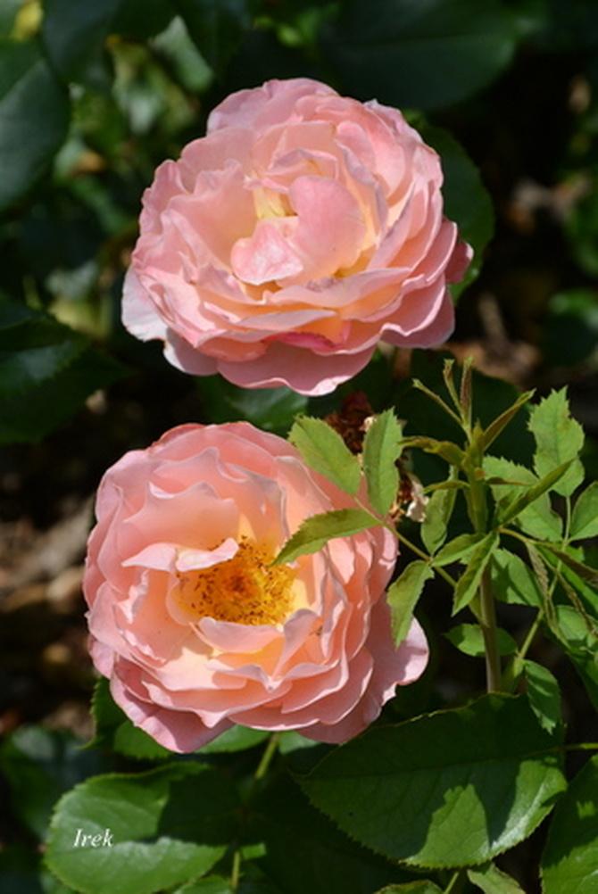 Róże, kolorowa para