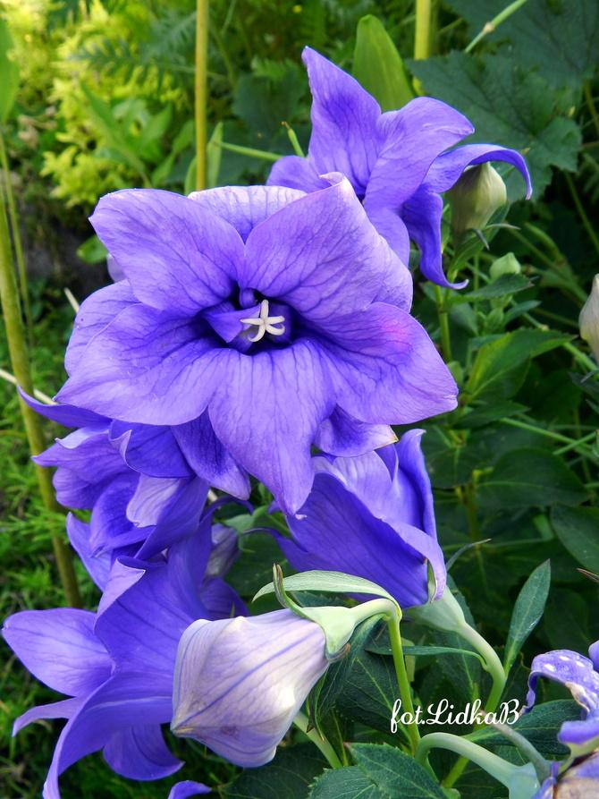 Rozwar  wielkokwiatowy niebieski
