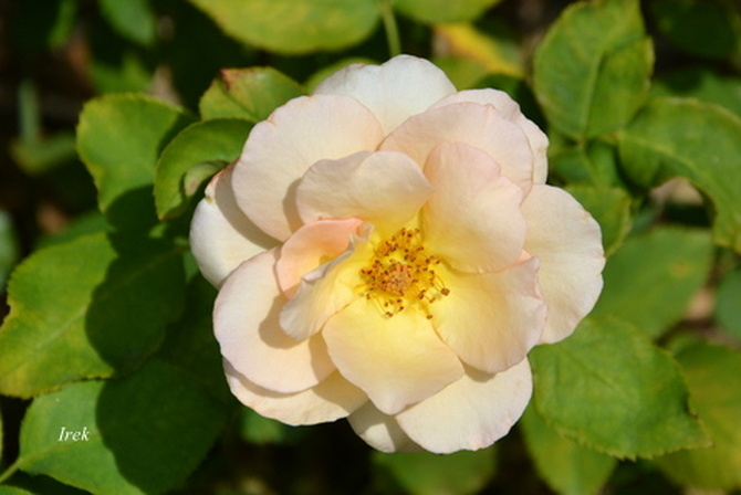 Skromna różyczka