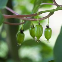 actinidia (agrest chiński, mini kiwi)
