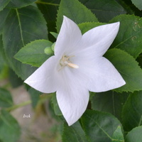 Biała gwiazdka