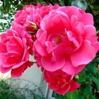 Comeback rózy pnącej