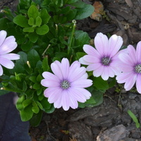 Fioletowe kwiatuszki