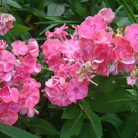 Floksikowy róż