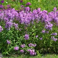 Floksy o barwie fioletowej