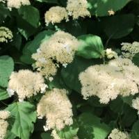 Hortensja miękkowłosa Hydrangea heteromalla