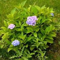 Hortensja niebieskawa