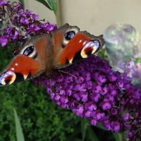 Jak budleja, to i motylki :)