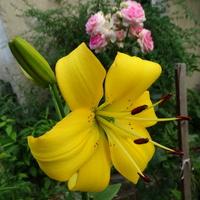 Kolejna słoneczna lilia