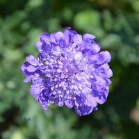 Kwiat niebieski jak dzisiejsze niebo