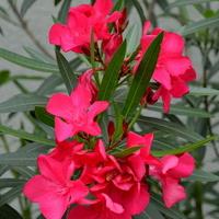 Kwiaty Oleandra