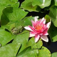 Lilia i żabka