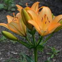 Lilia kwitnąca (