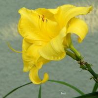 Lilia lub liliowiec