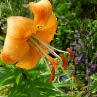 Lilia pomarańczowa