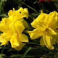Liliowce w pełni kwitnienia :)