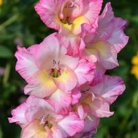Mieczyk różowy