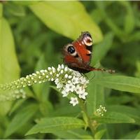 Motylek na tojeści orszelinowej...