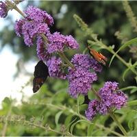 Motyli krzew...