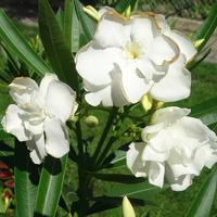 Oleander w bieli