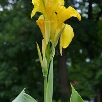 Paciorecznik żółty