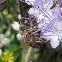 Pracowita pszczoła....