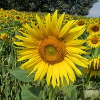 Przepiękne słonecznikowe pole