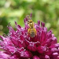 Pszczółka i kwiat