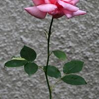 Róża na osiedlu
