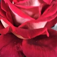 Róża, Nowy Nabytek