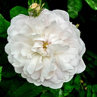 Róża  parkowa biała